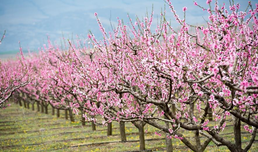 Одгледување на овошни насади