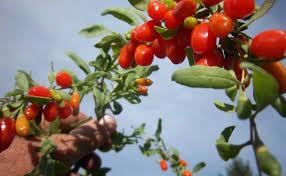 Овошни садници Гоџи бери
