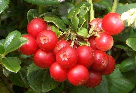 Овошни садници брусница